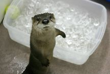 Otter / by VC Linde