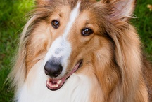 LOVER OF COLLIES