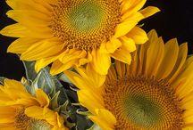Flower Daisy-Sunflower