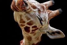 Giraffes / by Dana Nasser