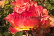 My newest pictures at Shutterstock. / New pictures accepted at shutterstock stock photo site.