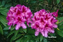 Great Rhododendrons we love / Great rhododendrons for your garden
