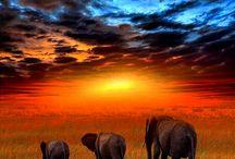 Elephants. / Elefanter er en familie kjempestore pattedyr som tilhører Asias og Afrikas nålevende megafauna. Elefanter kan bli omkring 4 meter høye og veie mer enn 10 tonn på det meste. Det finnes tre nålevende arter, hvorav to tilhører samme slekt. Wikipedia Lengde: Asiatisk elefant: 5,5 – 6,5 m Levetid: Asiatisk elefant: 48 år, Afrikansk savanneelefant: 60 – 70 år, Afrikansk skogselefant: 60 – 70 år Drektighetsperiode: Asiatisk elefant: 18 – 22 måneder, Afrikansk savanneelefant: 22 måneder