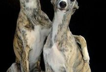 Greyhound Dog / The Greyhound is a breed of dog; a sighthound which has been bred for coursing game and Greyhound racing. Since the rise in large-scale adoption of retired racing Greyhounds, the breed has seen a resurgence in popularity as a family pet.