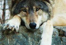 Bored wolf