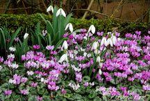 Přišlo jaro / První poslové jara začínají vykukovat. Zatímco čemeřice (Helleborus) kvetou už chvíli, sněženkám (Galanthus) se pozvolna otevírají první květy a pozadu nezůstávají ani talovíny (Eranthis hyemalis) či jarní bramboříky (Cyclamen coum). Vylétají první včelky, voní šafrány, ve vzduchu je cítit jaro.