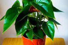 plantas conflores
