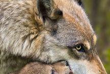 Loups, renards  / Fotos de lobos