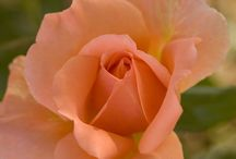Gardening Inspiration / Quotes, images, tips and tricks to inspire your rose gardening.