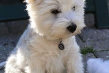 West Highland Terrier, the smartest dog I've ever had the pleasure of being around.