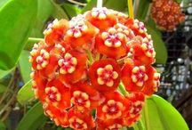 Mum çiçiği Hoya / Çiçekler