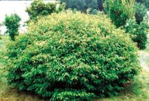 Deciduous Shrubs / We offer over 40 varieties of popular shrubs. Most of these are cold-hardy and can be shipped across the United States and Canada. Our shrubs are grown in a 5 gallon squat container and provide you with a full-bodied plant. It makes a difference when you plant this size of shrub in a landscape. Each shrub has a picture tag for our retail customers. Our large and distinct tags contain a lot of information and will draw your customers to these plants.