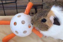 Marsvin - guinea Pig