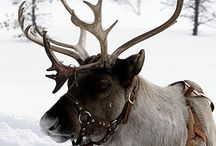 reindeer ❤️
