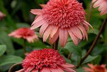 Echinacea - třapatky + Rudbeckia - Heliantheae