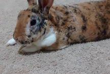 Chuchu Bunner / Cute little Velveteen mini rex Rabbit.