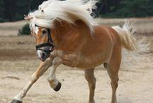 Haflingerhorse