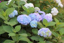 Садовая Фея / О растениях, саде, цветах, деревьях, кустарниках.
