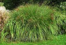Ornamental çim bitkiler