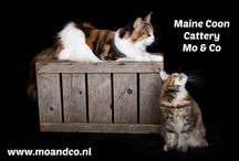 Maine Coon Mo & Co