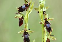 Ophrys of Greece
