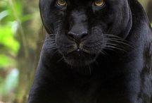 Black jaguars and jaguars / animals