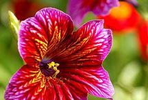 salpiglossis / le piante ornamentali salpiglossis