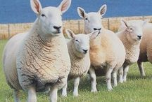 British Rare Breed Sheep & Others / Rare endangered sheep, plus other sheep and animals. Mostly animals that provide fibre for us to spin.