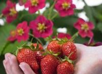 Fragaria / Seed of Strawberries (Fragaria) for the professional production of plants and fruits.
