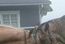 Appaloosa / Horses western hevonen hevosmiestaito Horsemanship