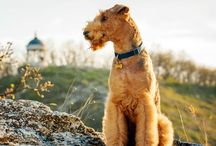 Airedale Terrier / The sturdy Airedale is the largest of all terriers. Males stand about 23 inches at the shoulder; females are a bit smaller. The wire coat is tan with dark markings. Rangy but muscular legs give Airedales a regal lift in their bearing, and the long head—with its sporty beard and mustache, expressive eyes, and neatly folded ears—conveys a keen intelligence. Airedales are the picture of an alert and willing terrier—and then some.