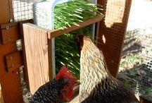 Chickens / by Kristen Cooper