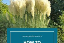 ❀ Pampas Grass / How to plant, care and get rid of Pampas Grass