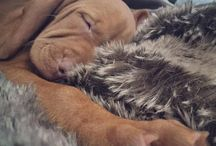 My Vizsla / My dog, Maisy