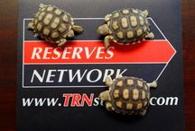 """TRN Tortoise Tracker! / Meet """"Te"""", """"Ar"""" & """"En""""... our company's very own Sulcata  tortoises! Follow this board to track new photos of them """"in action"""" & growing up! The African spurred tortoise, also known as a Sulcata tortoise, is a species which inhabits the southern edge of the Sahara desert in northern Africa."""