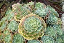 kaktusEtli Yapraklı Bitkiler