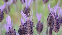 brnquitis plantas medicinales