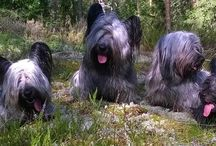 Skyeluck Skye Terriers / Here is a family portrait of Skyeluck Skye Terriers <3.  Skye Terrier , Skyenterrieri, Dogs, puppies