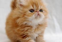 Persian & Himalayan Cats / Love of the flat face kitties.