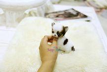 ☕ Chiwawa / Cute & Tiny