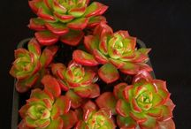G - Succulents - Sedeveria / Varieties