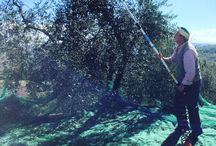 Olive Trees harvest and Olive oil tasting / Al about Mintestìgliano's Olive Oil