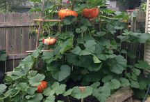 Verticle pumpkin patch / Yep