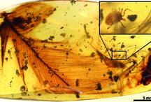 Deinocroton draculi / La nueva especie, Deinocroton draculi, descubierta por científicos del Instituto Geológico y Minero de España (IGME) evidencia la relación de parasitismo entre las garrapatas y los dinosaurios hace 100 millones de años.