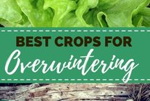Overwinter crops