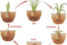 sadenie