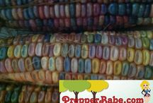Glass Gem Corn (a Rare Cherokee corn!) / by Prepper Babe