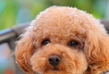 Toy Poodle Love