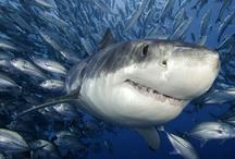 My love of sharks!! / by Sierra Lewis