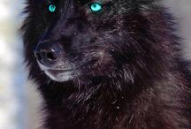 Loup trop beau